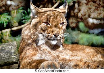 Cat sleeping lynx on tree