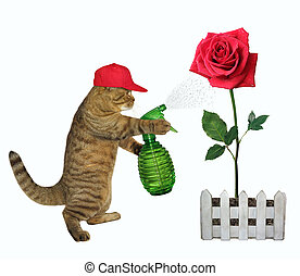 Cat spraying water on a red rose 2