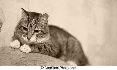 Cat. - Senior cat (17 y.o.) in the sofa. Monochrome.