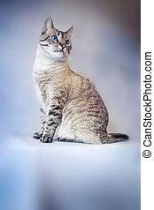 Cat - Beautiful Siamese Cross Cat Posing