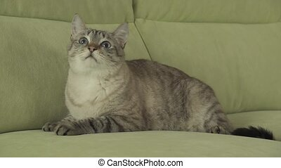 Cat Thai breed lies on couch and looks around stock footage...