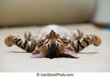 cat - The small British kitten sleeps