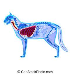 Cat Thorax / Lungs Anatomy - Felis Catus Anatomy - isolated...