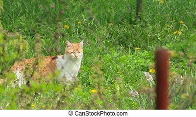 Cat - Wild cat moving through green grass inside of home...