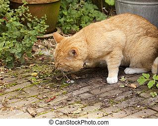 Cat vomiting - Red cat vomiting in garden