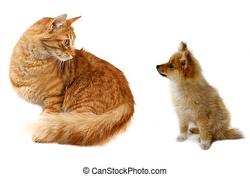 Cat VS Dog - Grown Cat Looking at Tiny Pomeranian Puppy ...