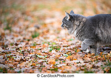 cat walking on autumn leaves close up