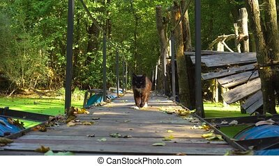 Cat walking on old bridge over swamp in the forest - Old...