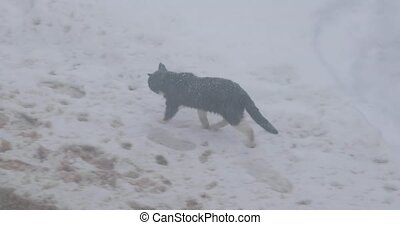 cat walks cautiously on the snow.