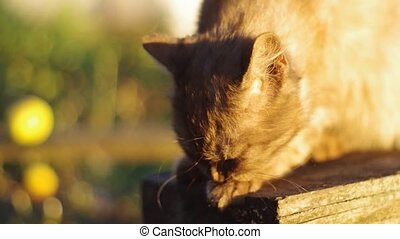 cat washes in the sun - cat chocolate color washes in the...