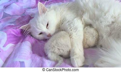 cat white feeding kitten lying on care and bed love
