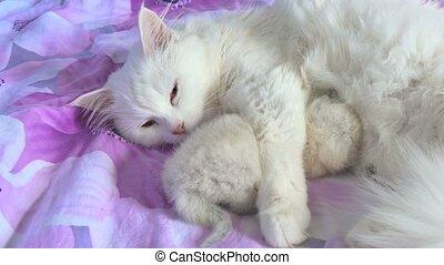 cat white feeding kitten lying on care and bed love
