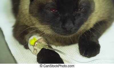 Cat with an intravenous infusion drip in a vet at the clinic. Cat with iv catheter, cannula in vein taking infusion.