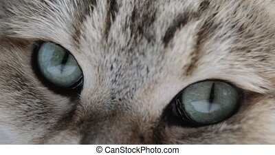 Cat With Big blue or green Eyes Close-up Looking At The...