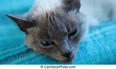 cat with blue eyes on a blue background.