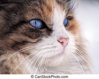Cat with bright blue eyes close up