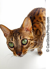 cat with green eyes on white background
