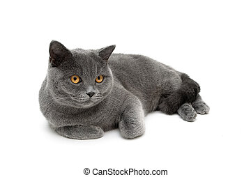 cat with yellow eyes lying on a white background