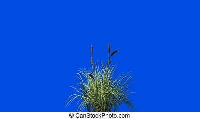 Catail grass in wind seamless loop against Blue screen