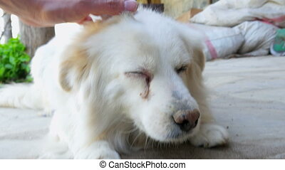cataract dog eye