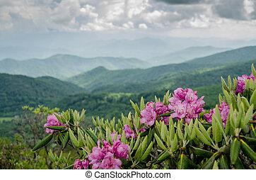 catawba, 山, 在后面, 杜鹃花