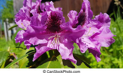Catawba Rhododendron Cultivar in park - Catawba Rhododendron...