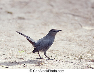 Catbird on the Ground