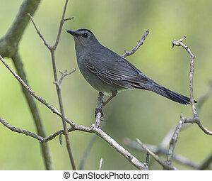 Catbird Perched On A Branch
