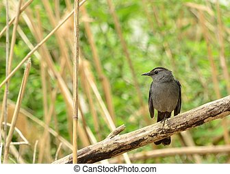 Catbird perched on a tree branch in a swamp.