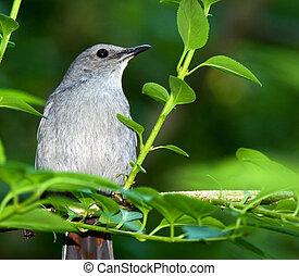 Catbird sitting on a branch