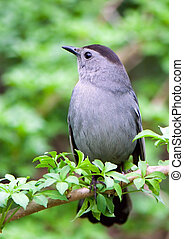 a catbird on a green branch rests after a labour day