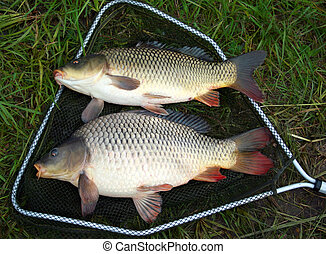 catch carp in green grass background