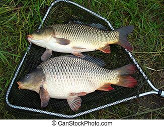 catch carp in green grass background