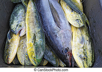 Catch of cobia and dolphin fish in North Carolina - A single...