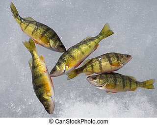 Ice fishing on Stoney Lake, catch of yellow perches