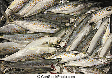 Large catch of Atlantic Spanish mackerel (Scomberomorus maculatus) after a day of fishing off the Outer Banks of North Carolina