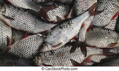 catch roach live fish successful Fishing