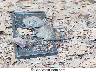 Catched mouse trying to escape from black glue traps near raised garden bed