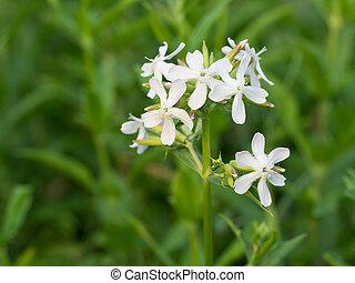 catchfly, noctiflora, -, night-flowering, silene