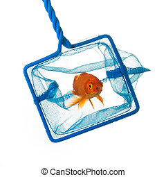 Catching a goldfish - A goldfish is catched on white ...