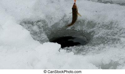 Catching ruffs in winter under ice