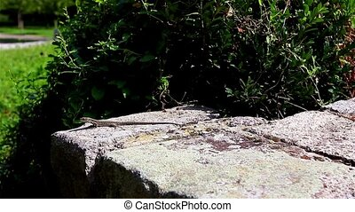 Catching the Sun - Lizard sitting on a white wall, facing...