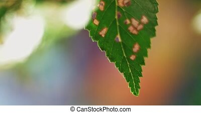 Caterpillar damaged green tree leaves with many holes moving...