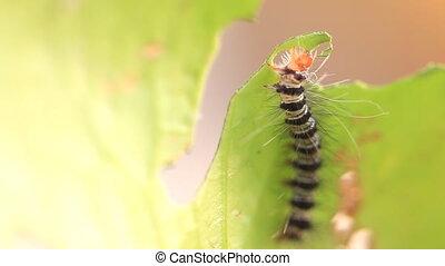 caterpillar eat green leaves, HD Clip.