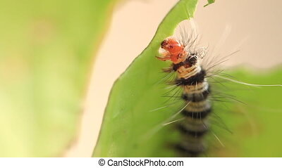 caterpillar eat green leaves