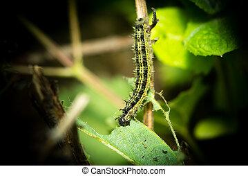 Caterpillar eating on a nettle - Caterpillar (Nymphalis...