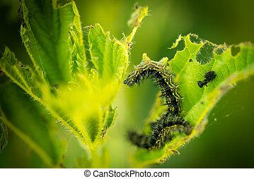 Caterpillar (Nymphalis urticae Aglais urticae) eating on a nettle