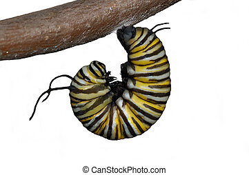 Monarch caterpillar in the J stage isolated on white