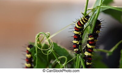 Caterpillar of a tropical butterfly.Tropical insects.Exotic...