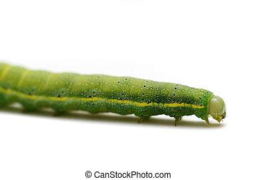 Caterpillar of Green-veined White Butterfly, Pieris napi, on...